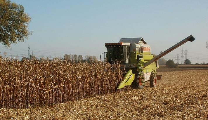 Mais oogsten wanneer